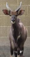 Baton Rouge Zoo Kudu