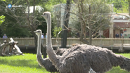 Fort Worth Zoo Ostrich