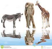 Giraffe-elephant-zebra-isolated-white-31179539