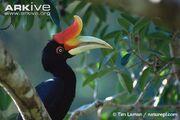 Rhinoceros Hornbill.jpg