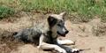 Sedgwick County Zoo Wolf