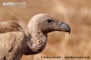 White-backed-vulture