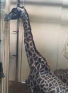 Cleveland Metroparks Zoo Giraffe
