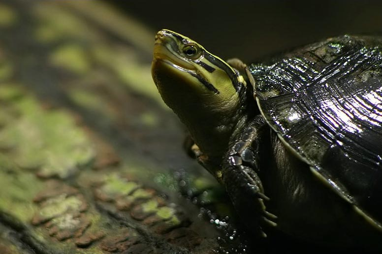 Asian Box Turtle