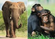 Elephants and Chimps