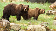 Grizzly Bear Boar and Sow