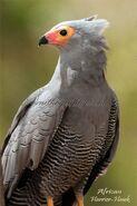 Harrier-Hawk, African
