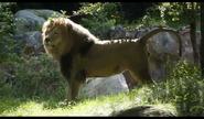 John Ball Zoo Lion