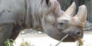 LPZ Rhino