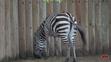 Memphis Zoo Zebra (V2)