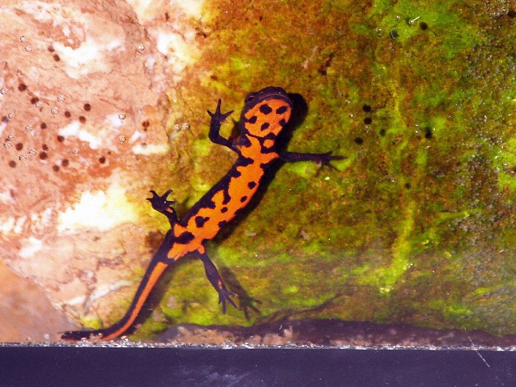 Fire-Bellied Newt