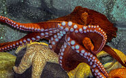 Octopus, Giant Pacific