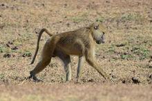 Papio cynocephalus (South Luangwa NP).jpg