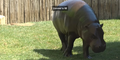Pittsburgh Zoo Hippo