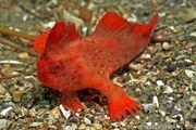 Red handfish.jpg