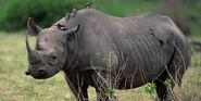 Rhinoceros, Uganda Black