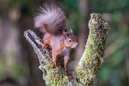 Squirrel, Eurasian Red