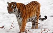 Tiger, Siberian (Amur) (V2).png