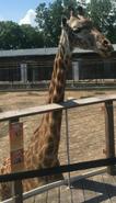 Toledo Zoo Giraffe
