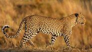 African Leopard (V2)
