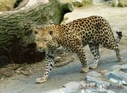 African Leopards