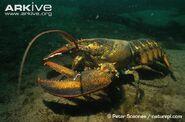 Atlantic-lobster-on-sea-bed