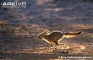 Cape-fox-cub-running