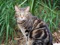 Cat, Domestic