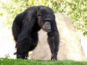 Chimpanzee, Westen.jpg