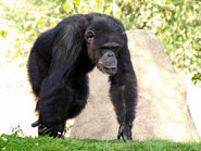 Chimpanzee, Westen