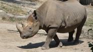 Cincinnati Zoo Black Rhino (V2)