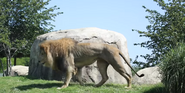 Dallas Zoo Lion