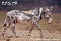 Grévy's Zebra.jpg