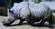 Indian Rhinoceros ZTX