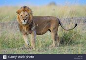 Lion, African (V2)
