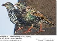 Male and female common starlings
