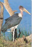 Marabou Stork (V2)