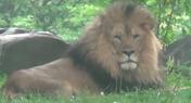 Maryland Zoo Lion
