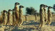 Meerkats standing at the savannah
