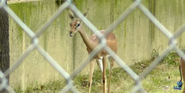 Memphis Zoo Gerenuk