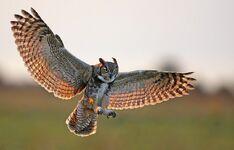 Owl, great horned (Bubo virginianus).jpg