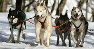 Pack of Siberian Huskies