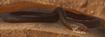 Snake, Eastern Brown (Planet Zoo)