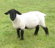 Suffolk-Sheep