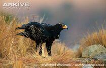 Verreauxs-eagle-on-the-ground.jpg