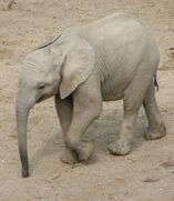African Bush Elephant Calf