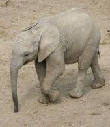 African Bush Elephant Calf