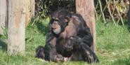 Chester Zoo Common Chimpanzee