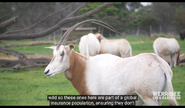 Werribee Open Range Zoo Oryx