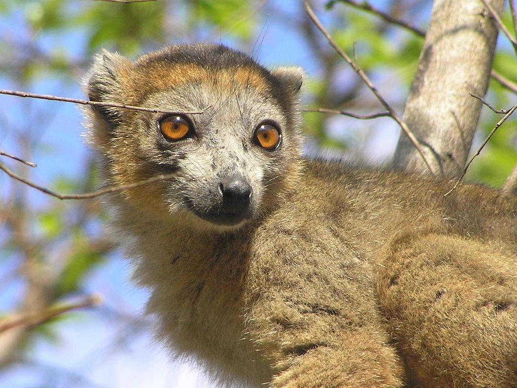 Crowned Lemur